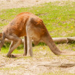 Kangaroo — Stock Photo #28500099