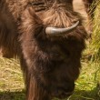 Stock Photo: Bison bonasus