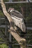 Vultur gryphus — Stock Photo