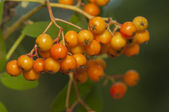 Sorbus fruit — Stock Photo