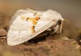 Leucodonta bicoloria — Stock Photo