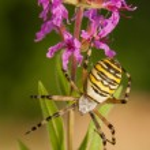 Argiope bruennichi — Stock Photo