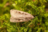 Moth and moss — Stock Photo