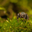 Evarcha - Jumping spider — Stock Photo