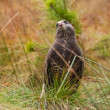 Buzzard — Stock Photo #35613243