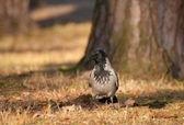 şapkalı karga, karga, corvus cornix — Stok fotoğraf