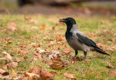 Hooded crow, crow, Corvus cornix — Stock Photo