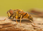 Fly insect — Stockfoto