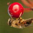 Fly insect — Stock Photo