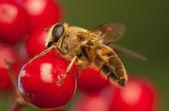 Fly hmyz — Stock fotografie