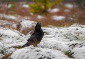 Raven bird — Stock Photo