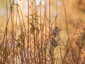 Sparrow — Stok fotoğraf
