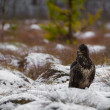 Buzzard — Stock fotografie #37073853