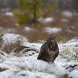 Buzzard — Stock fotografie #37074181