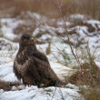 Buzzard — Stock fotografie #37074625