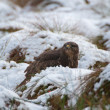 Buzzard — Stock fotografie #37075197