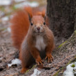 Squirrel — Stock fotografie #37079151