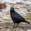 Rook bird — Stock Photo #37080799