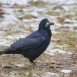 Rook bird — Stock Photo #37081055