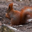 Squirrel — Stock fotografie #37081335