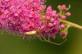 Spider - small predator — Stock Photo