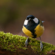 Stock Photo: Tit - Parus major