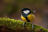 Tit - Parus major — Stock Photo