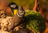 Tit - Parus major and Blue tit — Stock Photo