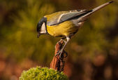 Chapim - real parus major — Foto Stock