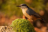 Nuthatch — Stock Photo