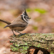 Crested tit — Stock Photo #38151867