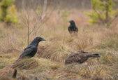 Buzzard and Raven — Stock Photo
