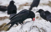 Black bird - Raven — Stock Photo