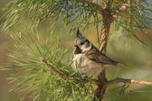 Crested tit — Stock Photo