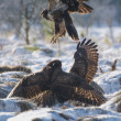 Stock Photo: Buzzard