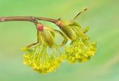 Acer pseudoplatanus — Stock Photo