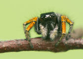 Philaeus chrysops - Jumping spider — Stock Photo