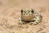 ヒキガエル - bufotes viridis — ストック写真