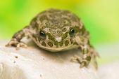 Toad - Bufotes viridis — Stock Photo