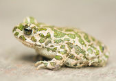 Toad - Bufotes viridis — Stock Photo