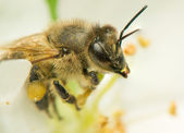 Bee - Apis mellifera — Stock Photo