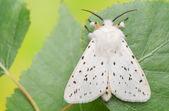 Night butterfly - Spilosoma lubricipeda — Stock Photo