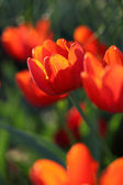 Red Orange Tulips — Stock Photo