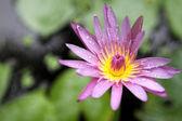 Krásný lotosový květ v přírodě pozadí — Stock fotografie