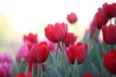 Blumen Tulpe — Stockfoto
