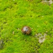 Stock Photo: Pill bug rolled up moss.