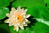 Lotus flower on the water — Stock Photo