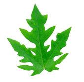 Papaya leaf isolated on white — Stock Photo