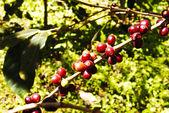LIVE COFFEE — Stock Photo
