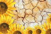 Sun flower frame — Stock Photo